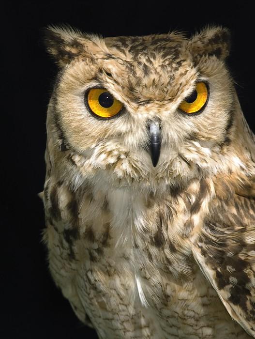 Vinylová Tapeta Owl - Témata