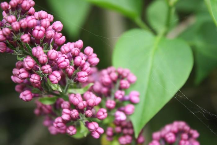 Vinylová Tapeta Lilac květina - Roční období