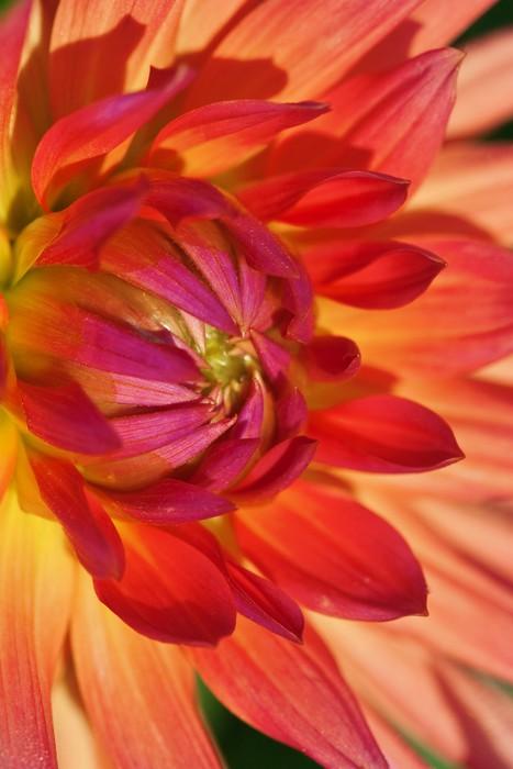 Vinylová Tapeta Dahlia květiny - Roční období