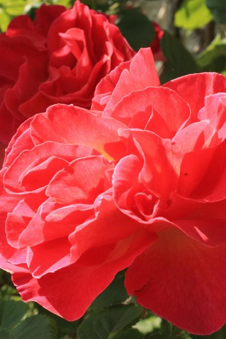 Vinylová Tapeta Růže - Květiny