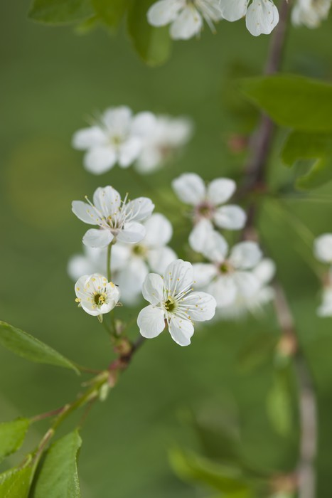 Vinil Duvar Kağıdı Bahar elma Çiçeklenme. - Çiçekler