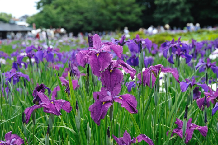 Papier peint vinyle Iris japonais - Campagne
