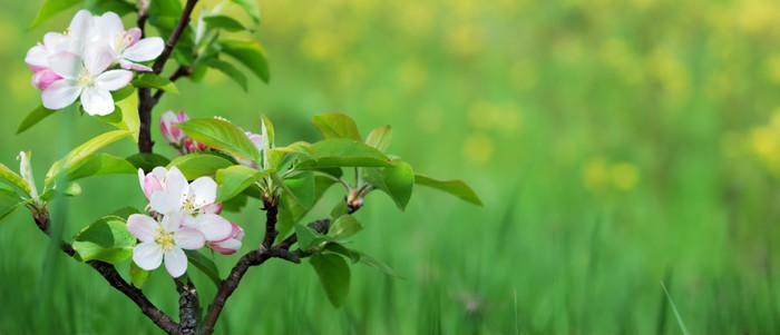 Vinylová fototapeta Pink jablko květ - Vinylová fototapeta