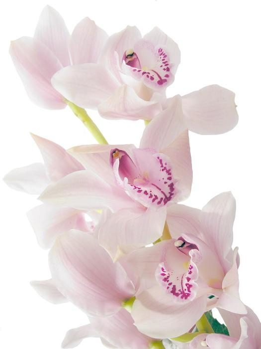 Vinylová Tapeta Krásné květy orchidejí - Národní svátky