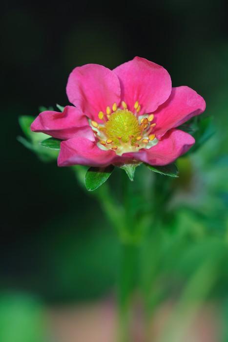 Vinylová Tapeta Kvetoucí jahody (Fragaria X ananassa) s růžovým květem - Rostliny