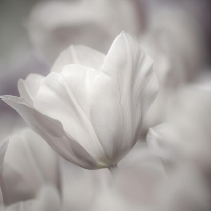 Tableau sur Toile Beaux-Arts de close-up Tulipes, floue et nette - Thèmes