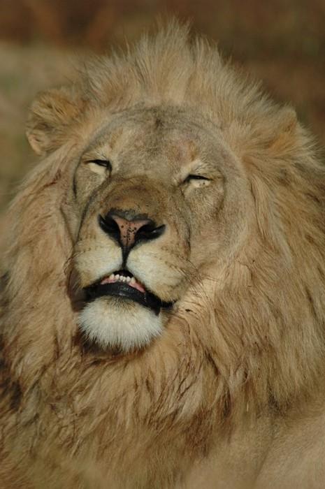 Vinylová Tapeta Sleepy Lion - Témata