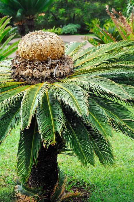 Vinylová Tapeta Cykas japonský (ságo cycad) - botanická zahrada Funchal, Madeira. - Přírodní krásy