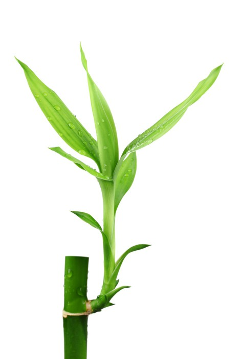 Vinylová Tapeta Bambus - Rostliny