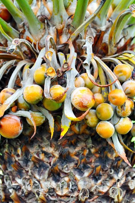 Vinylová Tapeta Zblízka palma ovoce - cykas indický - Přírodní krásy