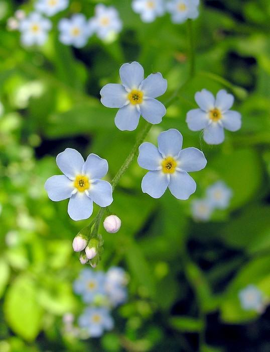 Fotomural Unas flores azules de olvidar-me-not • Pixers® - Vivimos ...