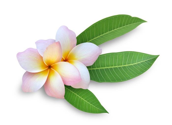 частности, вполне как связать крючком гавайский цветок плюмерия особенность этого