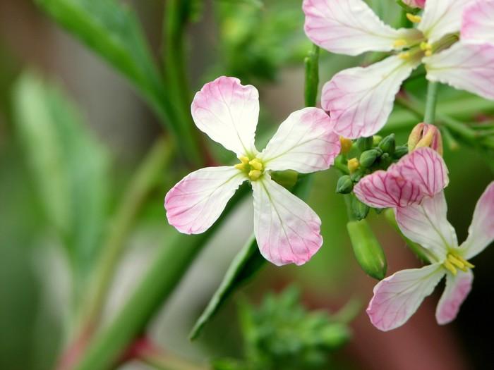 Vinylová Tapeta は つ か 大 根 の 花 - Zelenina