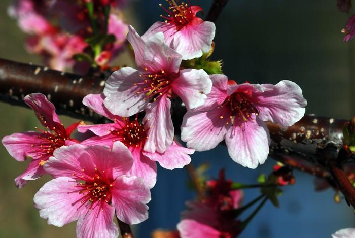 Vinylová Tapeta Cherry květiny - Květiny