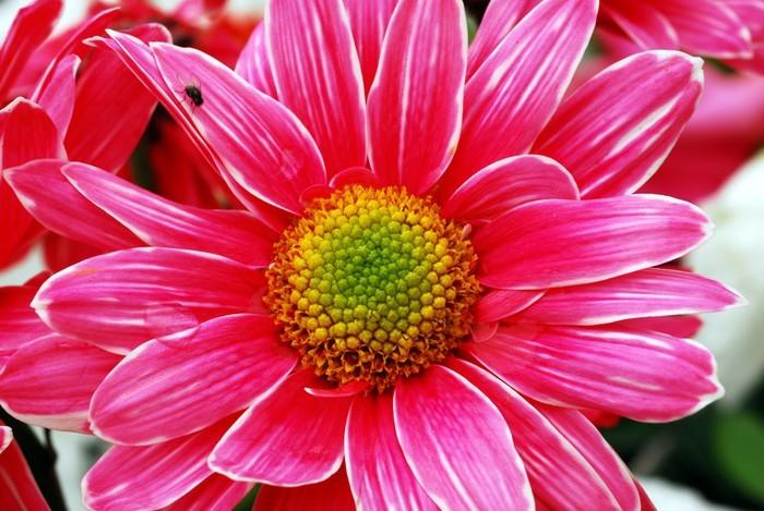 Vinylová Tapeta Růžový květ sedmikráska - Květiny