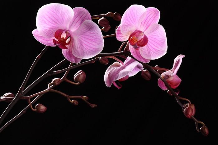 Papel de Parede em Vinil orchidea - Flores