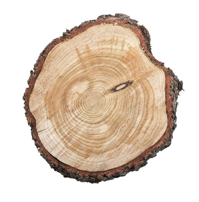 Vinylová Tapeta Pařez izolovaných na bílém pozadí - Stromy