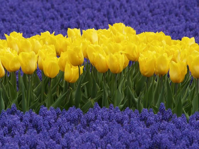 Vinylová Tapeta Žluté tulipány a hyacinty hroznů - Roční období