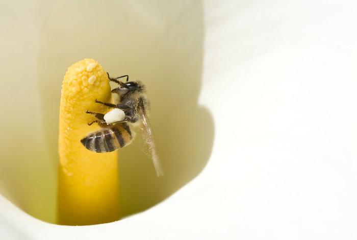 Vinylová Tapeta Včelí opylování Arum lilie - Ostatní Ostatní