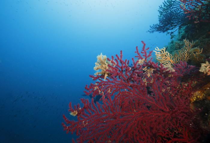 Vinylová Tapeta Gorgonia rossa Acquario - Podvodní svět