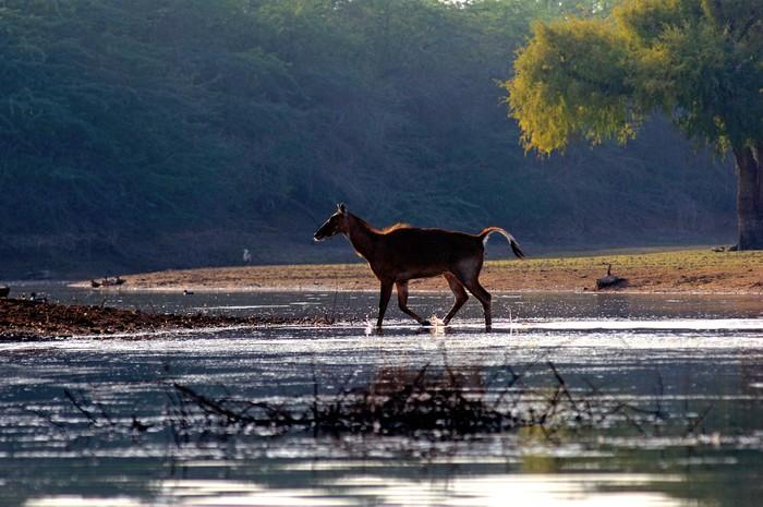 Vinylová Tapeta India, Gajner: jeleni a antilopy v blízkosti Gajner Palace - Asie