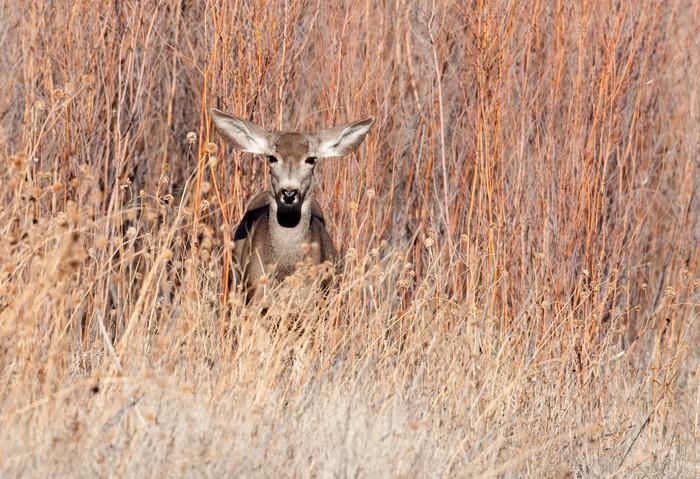 Mule deer doe in a field Vinyl Wallpaper - Mammals