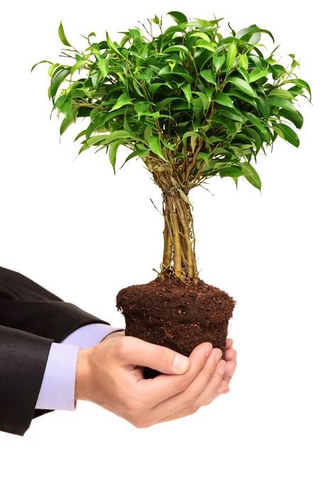 Carta Da Parati In Vinile Mano Che Tiene Una Pianta Di Ficus Benjamin    Agricoltura