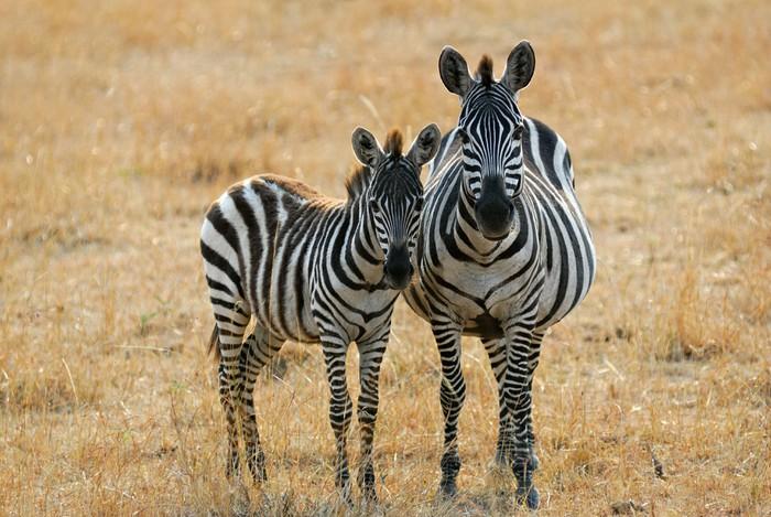 Vinylová Tapeta Zebra s hříbětem - Témata