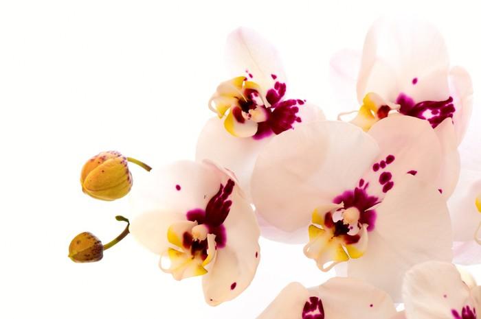 Fototapete Weiße Frauenschuh (Orchidee) • Pixers® - Wir leben, um zu ...
