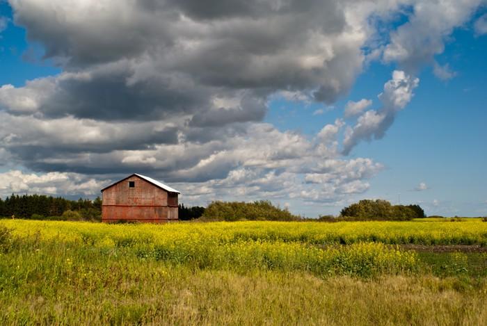 Vinylová Tapeta Červená stodola stojící v poli žluté květy řepky - Zemědělství