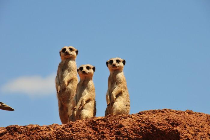 Vinylová fototapeta Tři surikaty se na nás dívají - Vinylová fototapeta