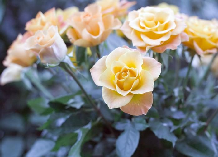 Vinylová Tapeta Svatební kytice, parta yelloe růží květin - Slavnosti