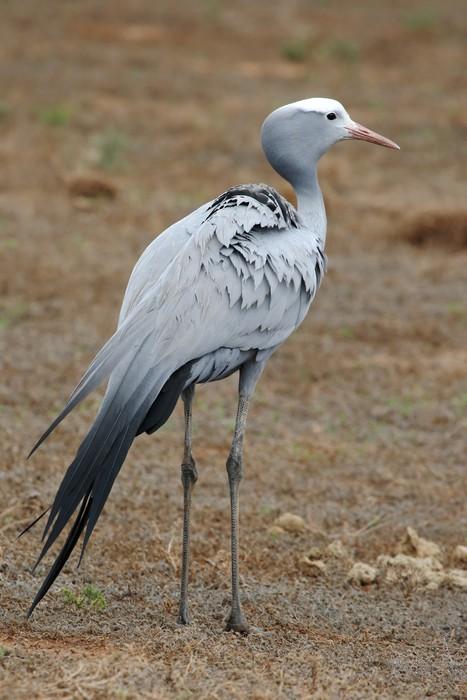 Vinylová Tapeta Blue Crane Bird - Ptáci