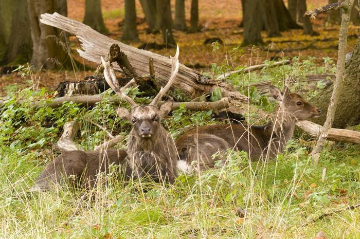 Vinylová Tapeta Samci a samice jelen sedí na dřevěné zemi na podzim - Roční období