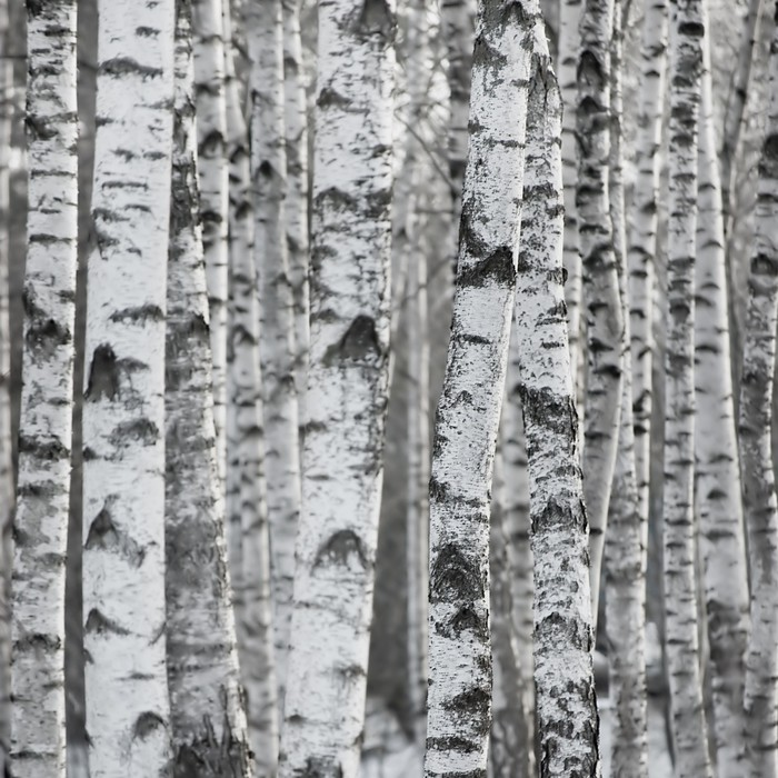 Winter birch tree forest background wall mural pixers for Birch tree forest wall mural