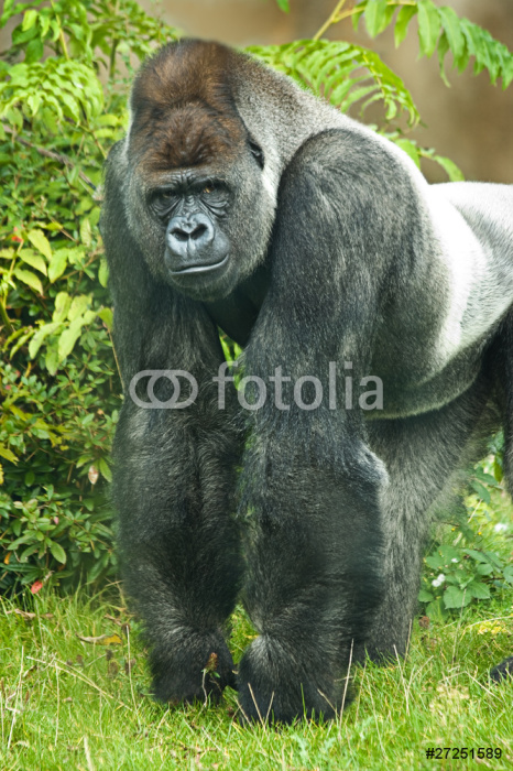 Fotomural Retrato del gorila espalda plateada • Pixers® - Vivimos ...