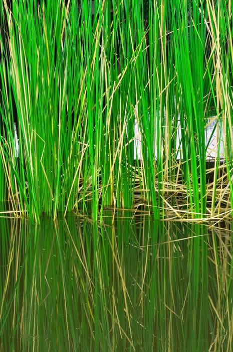Vinylová Tapeta Závod rákosí v jezeře - Rostliny