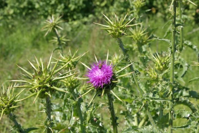 Nálepka Pixerstick Notobasis syriaca - Květiny