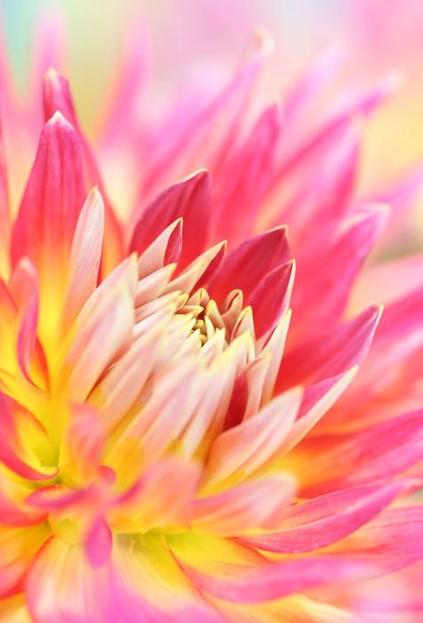 Vinylová Tapeta Close-up dahlia květiny. - Květiny