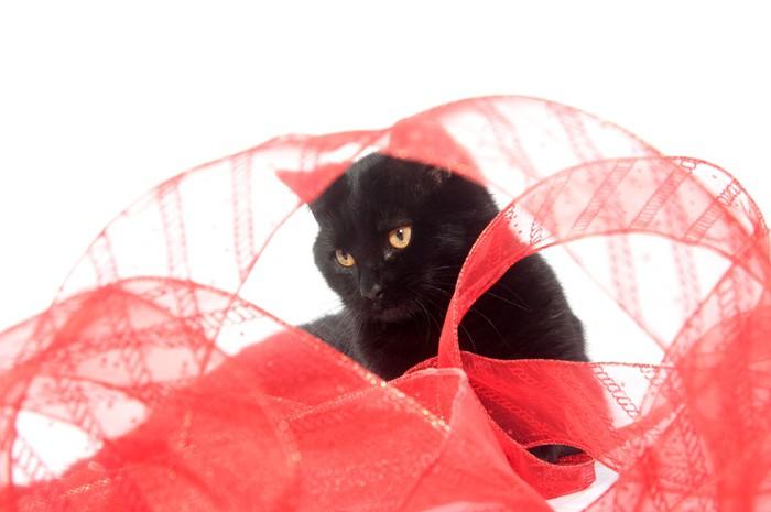 Vinylová Tapeta Černá kočka a červenou stuhou - Savci