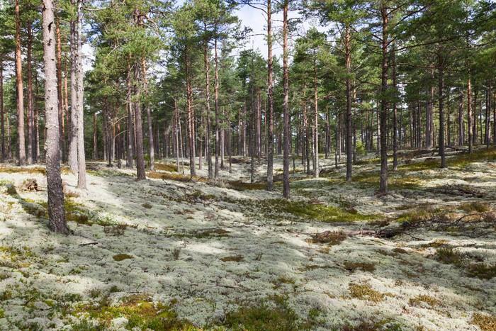 Reindeer moss Vinyl Wallpaper - Forests
