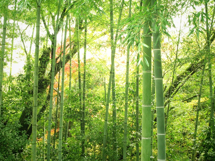 Papier Peint Vinyle Forêt de bambous - Thèmes