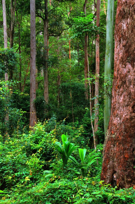 rainforest background new south wales australia wall mural