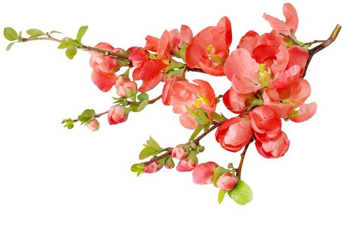 Vinylová Tapeta Cherry blossom - Rostliny
