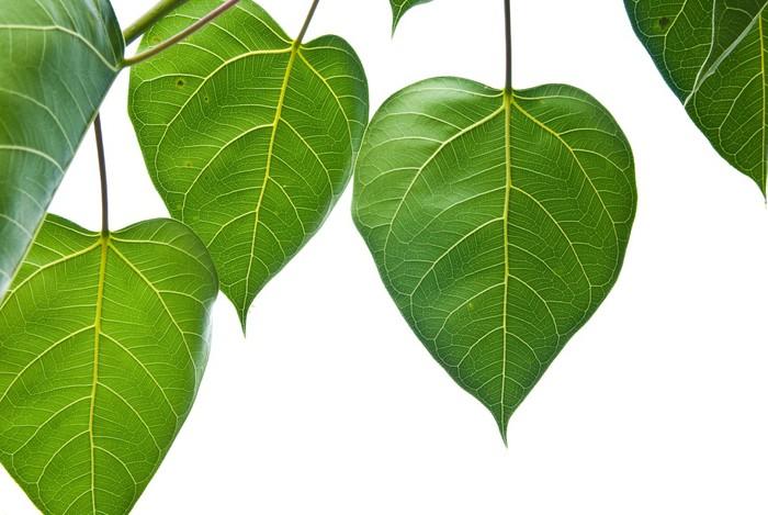 Vinylová Tapeta Bodhi nebo Peepal list ze stromu Bodhi - Rostliny