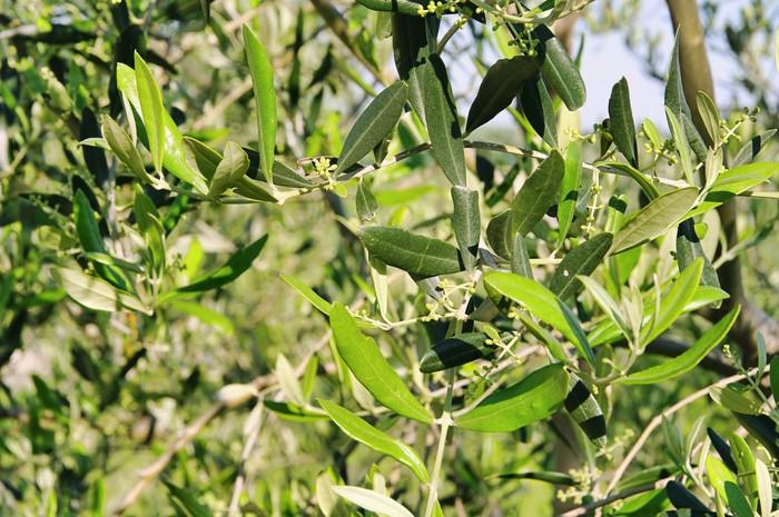 Vinylová Tapeta Olivenbaum bluete - olivovník květ 04 - Evropa