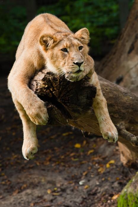 Vinylová Tapeta Samice lva na stromě - Témata