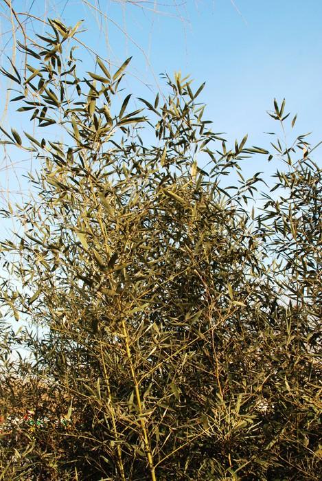 Vinylová Tapeta Bamboo Grove v rámci zimního slunce - Rostliny