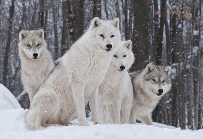 Pakiet wilk arktyczny