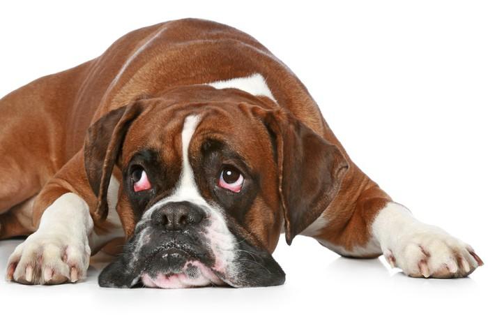 Risultati immagini per cane triste sfondo bianco